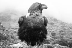 corvo Branco-necked Foto de Stock Royalty Free