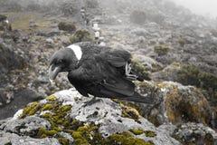 corvo Branco-necked nas rochas Imagens de Stock Royalty Free