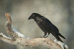 Corvo comum Foto de Stock