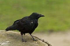 Corvo comum (corax do Corvus) Foto de Stock