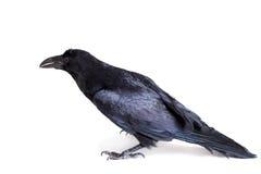 Corvo comum isolado no branco Fotografia de Stock Royalty Free