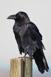 Corvo comune Fotografie Stock
