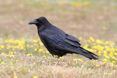 Corvo comune (corax del Corvus) Fotografia Stock Libera da Diritti