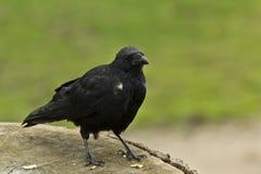 Corvo comune (corax del Corvus) Immagini Stock