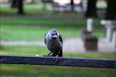 Corvo comune del bambino sul quindi fotografie stock