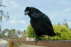 Corvo (corax del Corvus) Fotografia Stock Libera da Diritti
