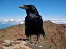 Corvo, corax del Corvus Fotografie Stock