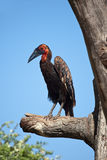 Corvo cornuto del Kaffir su un albero Fotografia Stock Libera da Diritti