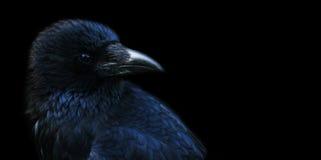 Corvo, corvo Fotografia de Stock