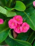Corvo da flor dos espinhos Fotografia de Stock Royalty Free