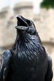 Corvo da torre de Londres (Reino Unido) Fotografia de Stock