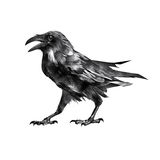 Corvo de assento de assento isolado do pássaro do desenho Fotografia de Stock