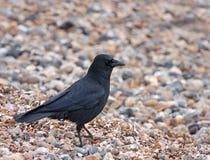 Corvo de Carrion na praia foto de stock royalty free