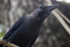Corvo del nero dell'uccello sul ramo di albero Fotografia Stock