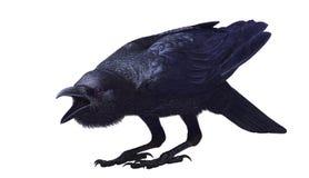 Corvo della giungla, macrorhynchos del Corvus, vista laterale Fotografie Stock