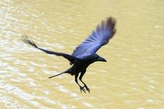 Corvo di volo che galleggia sull'aria Fotografia Stock Libera da Diritti