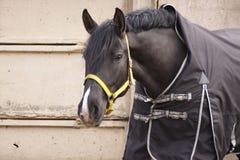 Corvo do cavalo em uma cobertura em um muro de cimento cinzento imagem de stock royalty free
