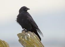 Corvo do noroeste (caurinus do Corvus) Foto de Stock