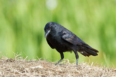 Corvo dos peixes (ossifragus do Corvus) Imagem de Stock