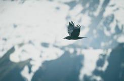 Corvo durante il volo fotografie stock libere da diritti