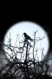 Corvo e luna Fotografie Stock