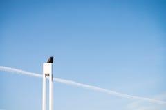Corvo ed il cielo blu Fotografia Stock