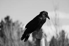 Corvo em preto e branco Fotografia de Stock Royalty Free