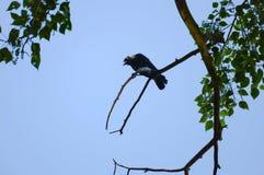 Corvo em um ramo inoperante Foto de Stock