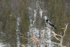 Corvo encapuçado (cornix do Corvus) Imagens de Stock