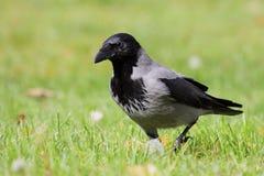 Corvo encapuçado (cornix do Corvus) Foto de Stock Royalty Free