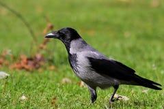Corvo encapuçado (cornix do Corvus) Imagem de Stock Royalty Free