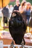 Corvo - fim do corvo acima imagens de stock
