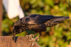 Corvo - fim do corvo acima foto de stock royalty free