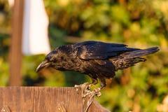 Corvo - fim do corvo acima imagens de stock royalty free
