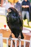 Corvo - fim do corvo acima foto de stock