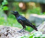 corvo Grande-faturado Fotografia de Stock