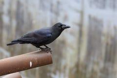 corvo Grande-faturado Fotos de Stock Royalty Free