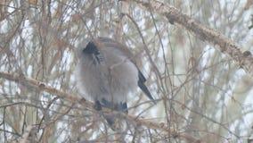 Corvo grigio che si siede su un albero di betulla un giorno nuvoloso archivi video
