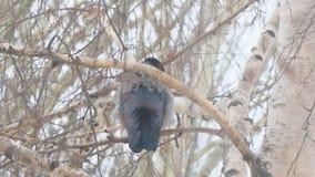 Corvo grigio che si siede su un albero di betulla un giorno nuvoloso stock footage