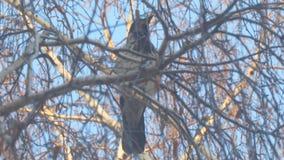 Corvo grigio sui rami della betulla coperti di brina contro cielo blu video d archivio