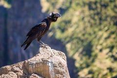 corvo Grosso-faturado em uma rocha Imagens de Stock