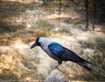 Corvo Himalaia Imagens de Stock