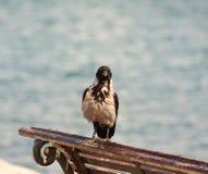 Corvo incappucciato (cornix del Corvus) Fotografie Stock Libere da Diritti