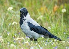 Corvo incappucciato, cornix di corone del Corvus Immagini Stock Libere da Diritti