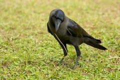 Corvo indiano della Camera fotografie stock