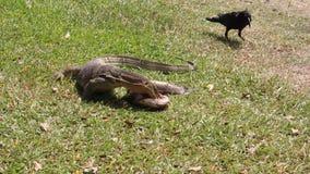 corvo Lagarto de monitor da vida uma dos animais selvagens que come peixes video estoque
