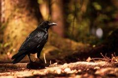 Corvo na floresta fotografia de stock royalty free