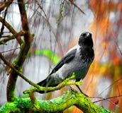 Corvo na floresta Foto de Stock