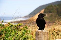 Corvo na praia imagens de stock