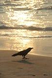 Corvo na praia pelo por do sol Fotografia de Stock Royalty Free